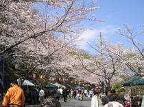 伊豆高原駅前 桜並木(染井吉野)