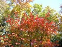 ブル-ベリ-の紅葉