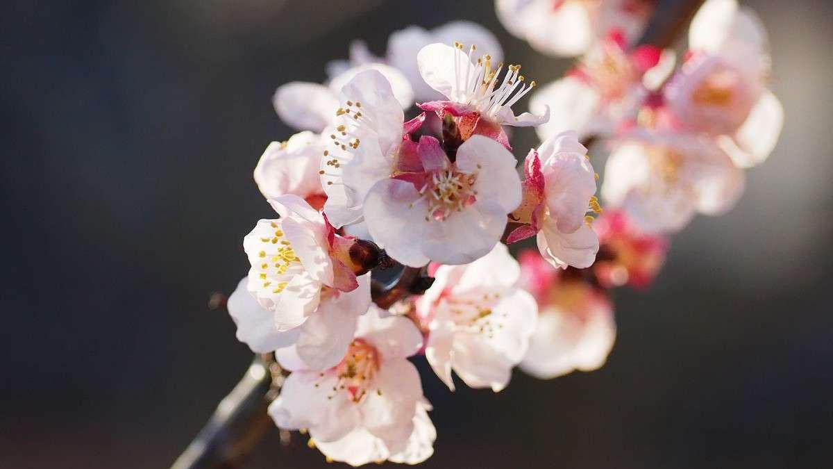 あんずの花が開花する頃、千曲市に本格的な春の便りが届きます。