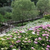 【国営讃岐まんのう公園】梅雨時期しか楽しめないあじさい