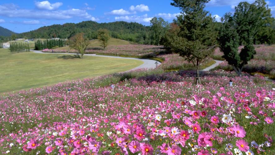 【国営讃岐まんのう公園】秋に美しく咲き並ぶコスモス