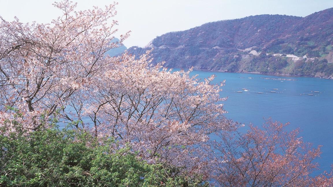 神子の山桜