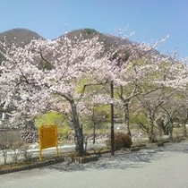 阿知川沿いの桜並木