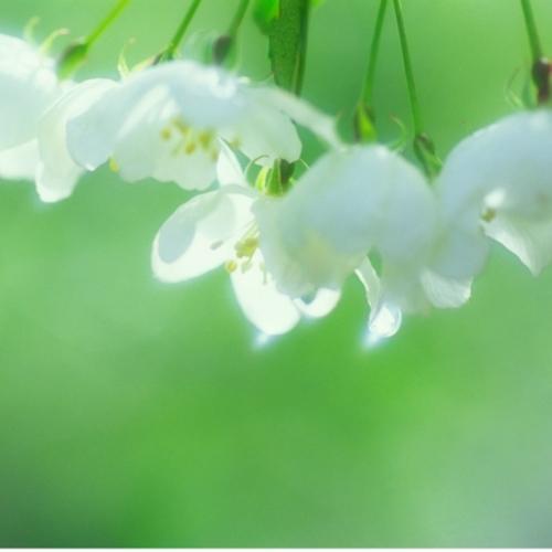 小梨の花に朝露