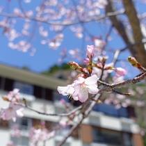 桜咲くルミエスタホテル
