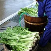 ◆毎年恒例、野沢菜漬けの仕込み
