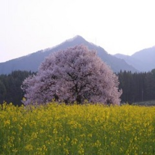 黒部地区のしだれ桜