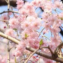 ☆周辺・景色_桜 (2)