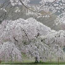 【春】さくらの里のしだれ桜です