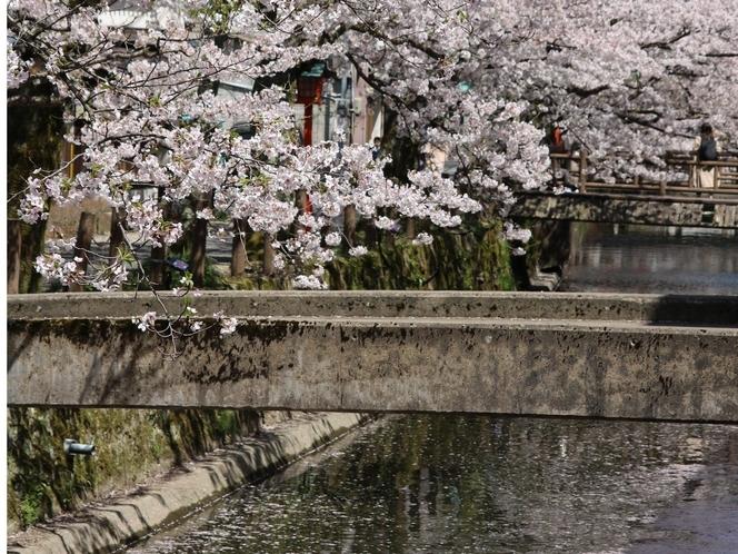 木屋町通り 桜