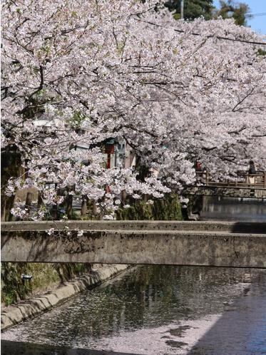 木屋町通り  桜並木