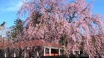 角館のしだれ桜 歴史ある武家屋敷と桜並木が美しい「みちのくの小京都