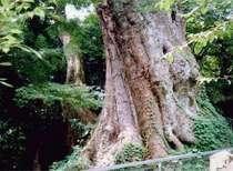 【柞原八幡宮境内の樹齢3000年以上の大楠】神社のご利益は、厄除・開運・諸産業の守護など。