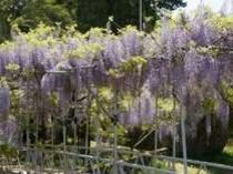 【西寒多神社の藤】樹齢450年以上の天然記念物。4月下旬から5月上旬が見頃です。