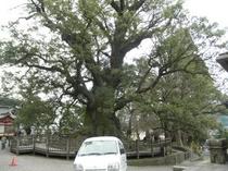 蒲生神社の大楠
