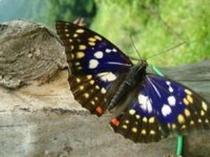 初夏に飛来した国蝶オオムラサキ