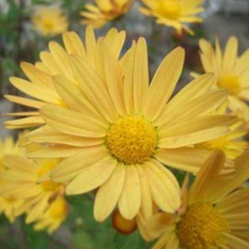 [はなの舞 四季だより]秋の花 小菊