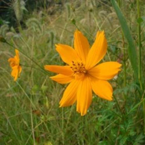 [はなの舞 四季だより]秋の花 黄花コスモス