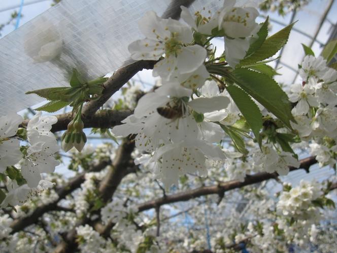 自社農園さくらんぼの花