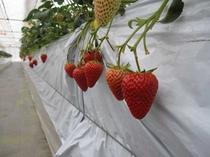 自社農園 イチゴ(1月~4月末)