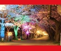 【秋月・桜のライトアップ】車で20分 桜の名所「杉の馬場」満開時は約500mの桜のトンネルは美しい