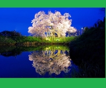 【浅井の一本桜】車で約25分田主丸の隣久留米市山本町にある、一度は見てほしい1本桜 ライトアップ最高
