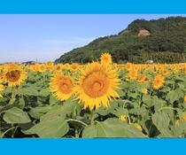 【原鶴・道の駅ファームステーションバサロ】道の駅向い側に春は「菜の花」夏は「ひまわり」