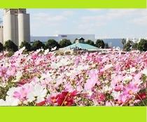 【キリン花園のコスモス】ホテルから車で約7分 毎年10/中旬から11/中旬