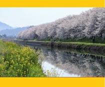【流川桜並木】ホテルから車で約30分 知る人ぞ知る 桜の名所