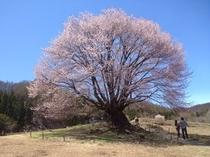 (春)天皇桜