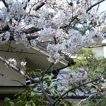 *【日本庭園】4月には桜をお楽しみいただけます