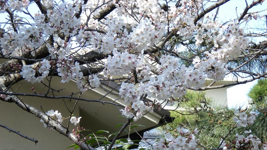 **【日本庭園】4月には桜をお楽しみいただけます