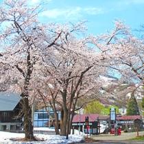 *【初春の風景(4月下旬~5月上旬)】残雪の中に桜が咲く、湯沢の春。寒い年は降雪+桜が見られる事も。