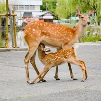 奈良といえば鹿!当館の前にもよくやって来ます