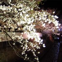 江名古川 桜