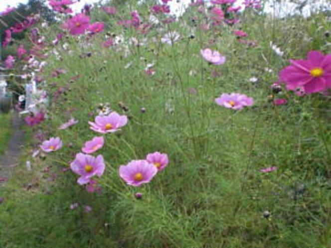 庭に咲いたコスモス