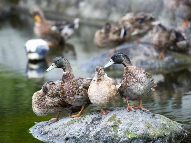 神楽殿前の池に放し飼いされた合鴨が出迎えいたします