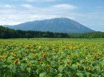 小岩井農場まきば園 ひまわり畑