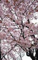 寿広園内桜