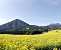 生駒高原の菜の花