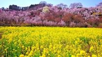 【花ももの里・花見山公園】