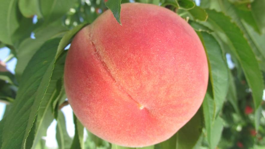 【フルーツライン】くだもの王国ふくしま!初夏から12月まで果物狩りが楽しめます