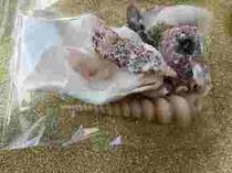 2238シャコガイ貝や貝殻