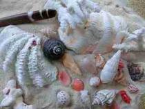 2244シャコガイ貝や貝殻