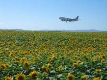 女満別空港のひまわり
