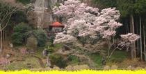 芦野地区 桜