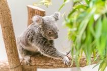 平川動物園のコアラ