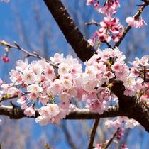 伊豆高原駅前オオカン桜