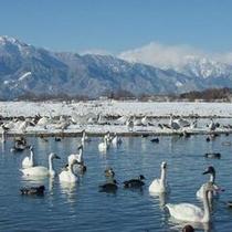 北アルプスをバックに、優雅にただよう白鳥をご覧いただけます。