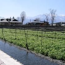 【大王わさび農場】信州安曇野に広がる日本一のわさび園
